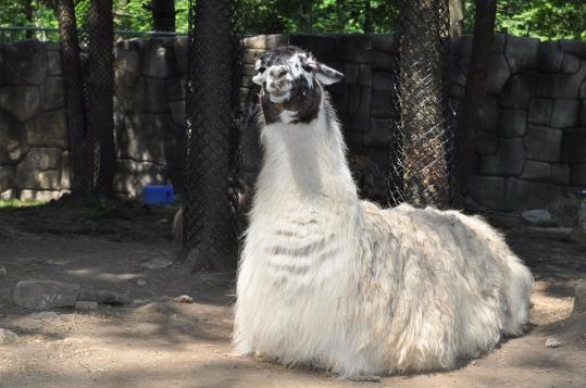 Lamas-