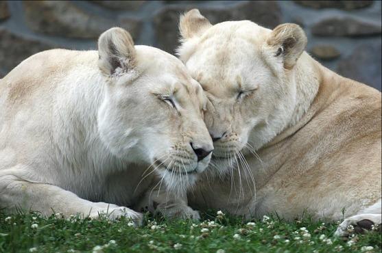 Lionnes-Blanches